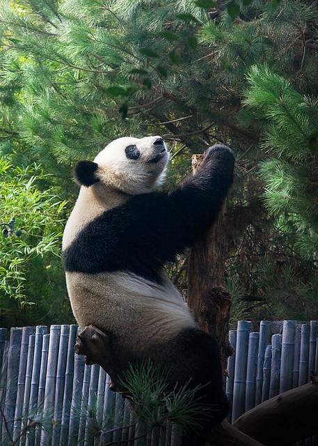panda climbing