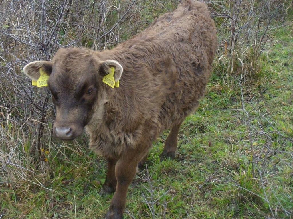 Dexter calf Eynsford to Shoreham