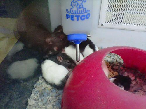 Petco Rats Cute rats at Petco | F...