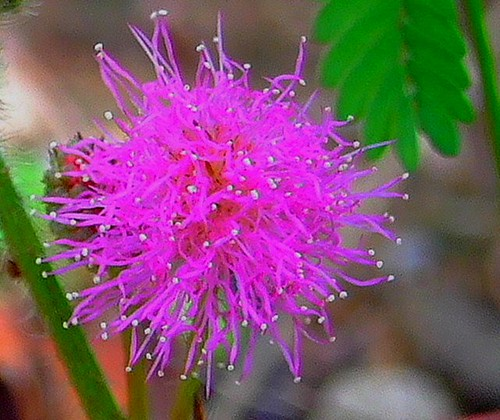 MIMOSACEAE 含羞草科  - Flower of a Sensitive Plant (Mimosa pudica) 含羞草