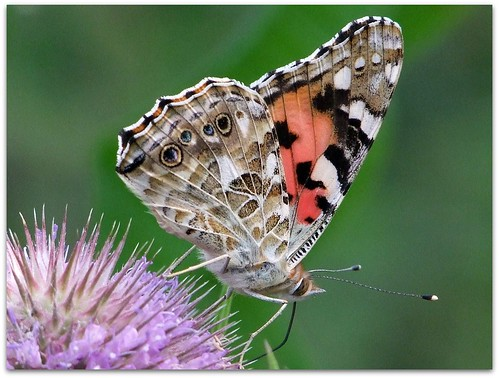 Painted lady on common teasel