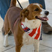 Small photo of American Dog