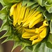 Unfurling Sunflower