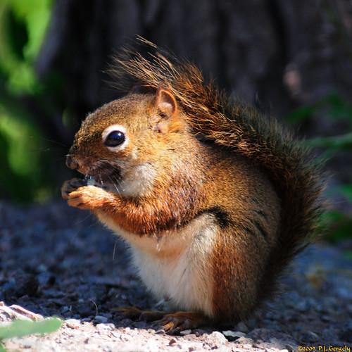 canada geotagged squirrels newbrunswick moncton cropped mapletonpark allrightsreserved©drgnmastrpjg rawjpg geo:lat=46128419 geo:lon=64855739 ©pjgergelyallrightsreserved