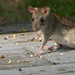 Old World Rats and Mice - Photo (c) Alex O'Neal, some rights reserved (CC BY-SA)