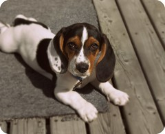 basset hound(0.0), hound(0.0), dog breed(1.0), animal(1.0), harrier(1.0), dog(1.0), treeing walker coonhound(1.0), english foxhound(1.0), american foxhound(1.0), pet(1.0), pocket beagle(1.0), basset artã©sien normand(1.0), finnish hound(1.0), hamiltonstã¶vare(1.0), estonian hound(1.0), beagle-harrier(1.0), drever(1.0), serbian tricolour hound(1.0), carnivoran(1.0), beagle(1.0),
