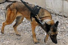 dingo(0.0), czechoslovakian wolfdog(0.0), red wolf(0.0), street dog(0.0), shikoku(0.0), dhole(0.0), saarloos wolfdog(0.0), norwegian lundehund(0.0), dog breed(1.0), animal(1.0), dog(1.0), pet(1.0), mammal(1.0), fauna(1.0), belgian shepherd malinois(1.0), wolfdog(1.0),