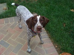 pachon navarro(0.0), braque d'auvergne(0.0), german wirehaired pointer(0.0), english springer spaniel(0.0), dog breed(1.0), animal(1.0), dog(1.0), pet(1.0), old danish pointer(1.0), braque francais(1.0), brittany(1.0), pointer(1.0), spaniel(1.0), german shorthaired pointer(1.0), carnivoran(1.0),