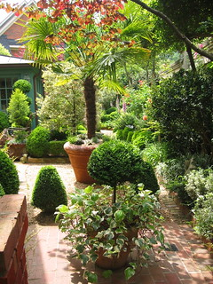 Fan palm in courtyard garden