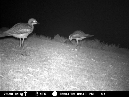 Bush-stone Curlews - night time
