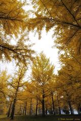 Golden Ginkgo Canopy