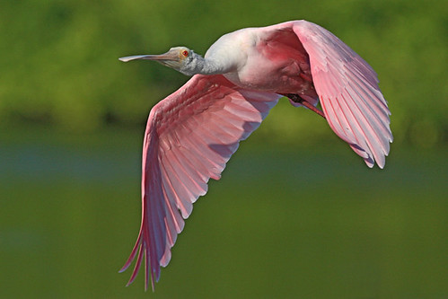 spoonbill at sanibel
