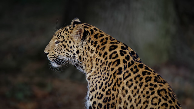 Serenity of a leopard
