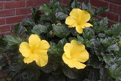annual plant, flower, yellow, plant, flora, herbaceous plant,