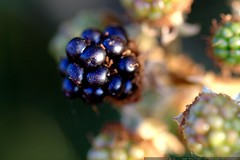 ripe blackberry macro    MG 9084