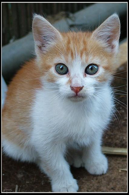 Kitten Redhead 23