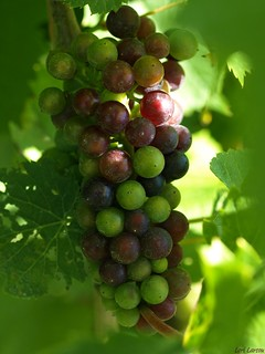 Future wine.. by Daylily18