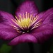Glowing Clematis by j man.