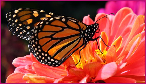 ontario canada macro londonontario monarchbutterfly