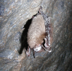 Little brown bat with white-nose syndrome in Greeley Mine, Vermont, March 26, 2009  Credit: Marvin Moriarty/USFWS