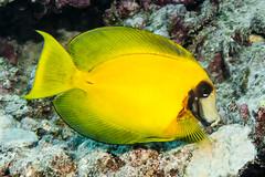 Mimic Surgeonfish, subadult - Acanthurus pyroferus