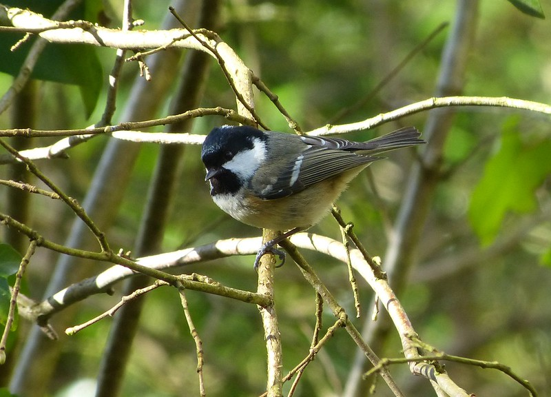 P1060984 - Coal Tit, Cosmeston Lakes