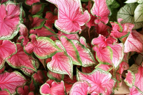 Fancy Leaf Caladium