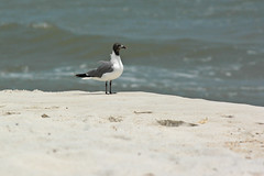 sea gull-0516