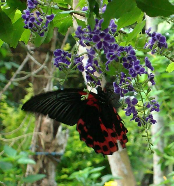 Papilio romanzuvia