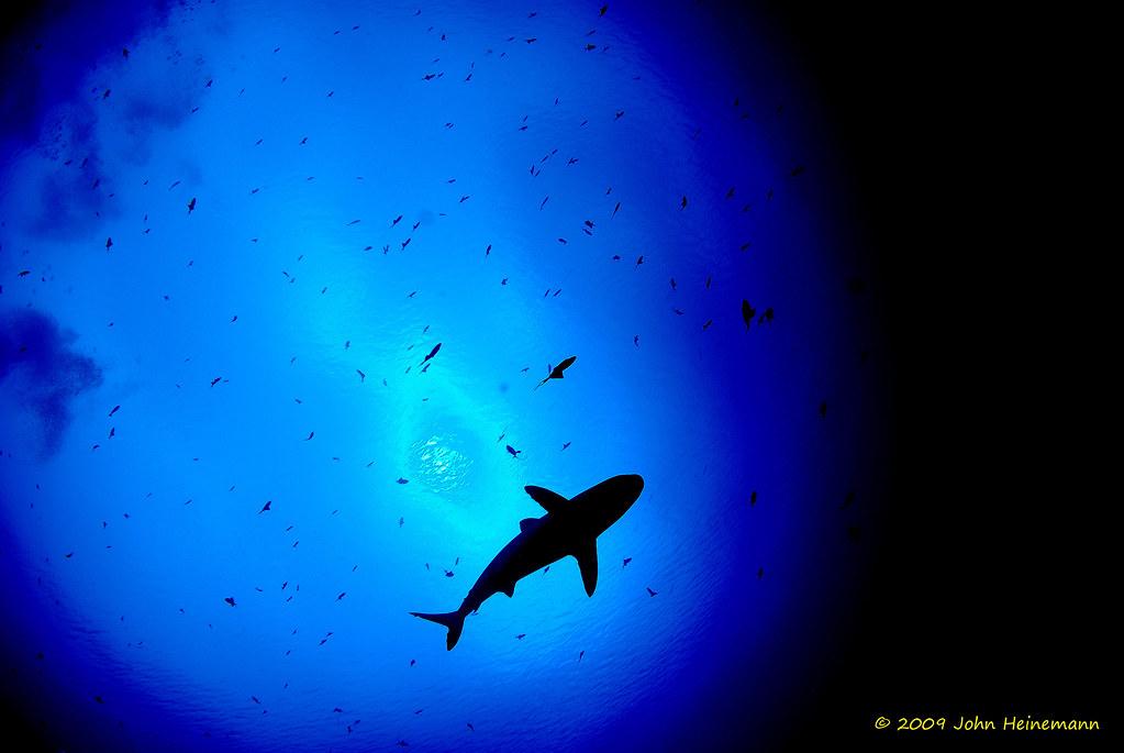Shark Sillouete 3