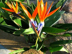 shrub, flower, leaf, ti plant, plant, flora,