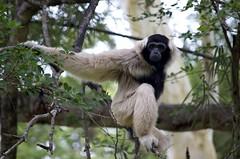 gibbon, animal, monkey, mammal, fauna, new world monkey, wildlife,