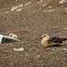 Skua Chick and Mom
