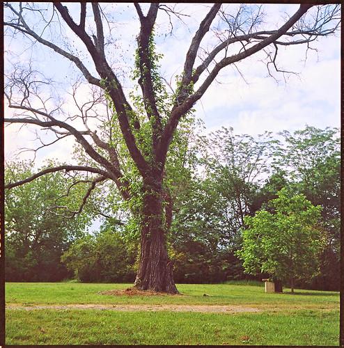 tree tlr rollei mediumformat georgia landscape vintagecamera rolleicord nature120mm