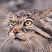 Female Pallas cat