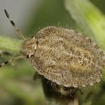 bogyómászó poloska - Dolycoris baccarum