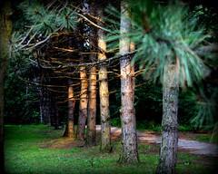 Sunset spruce