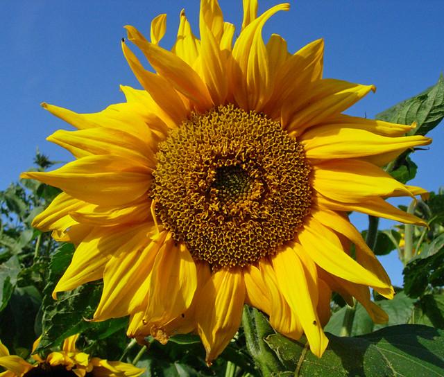 fibonacci sunflower flickr photo sharing