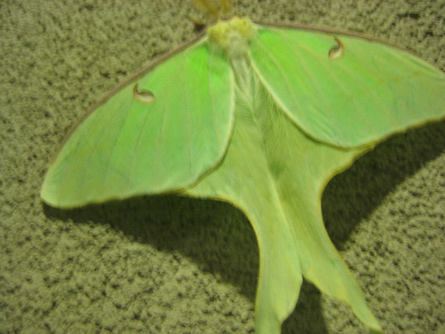 Swallow Tail Moth 18