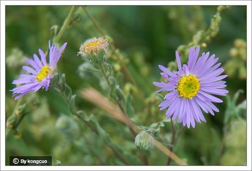 内蒙古植物照片-菊科翠菊属翠菊