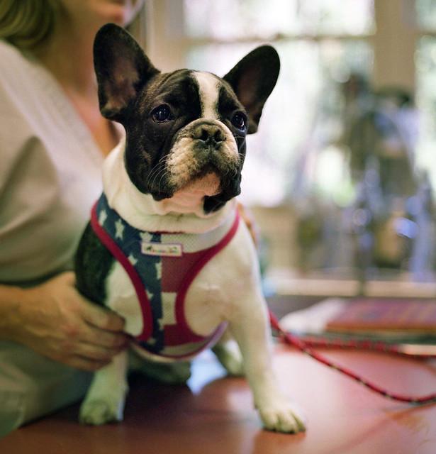 american french bulldog - photo #4