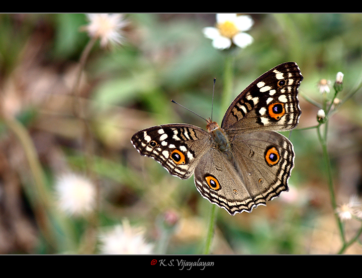 Lemon Pansy Butterfly, Thailand