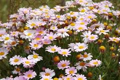 annual plant, flower, field, marguerite daisy, daisy, herb, wildflower, flora, oxeye daisy, chrysanths, daisy,