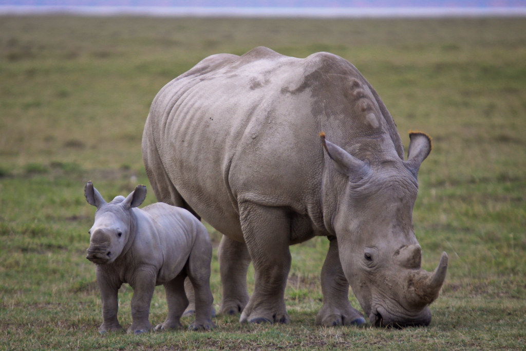 фото стадо носорогов выпускает большой ассортимент