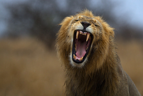 Lion yawn on a rainy day
