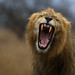 Lion yawn on a rainy day by Wild Dogger
