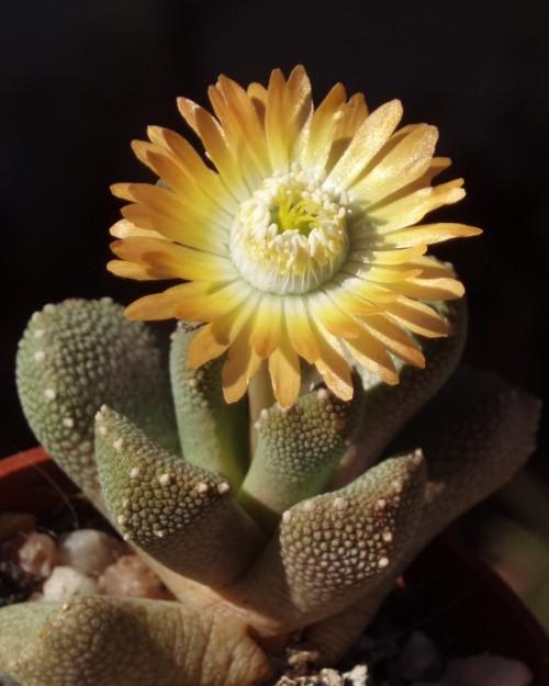 Aloinopsis luckhoffii 4230228335_08944c5281_o