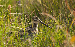 animal, prairie, grass, nature, fauna, shorebird, snipe, beak, bird, wildlife,
