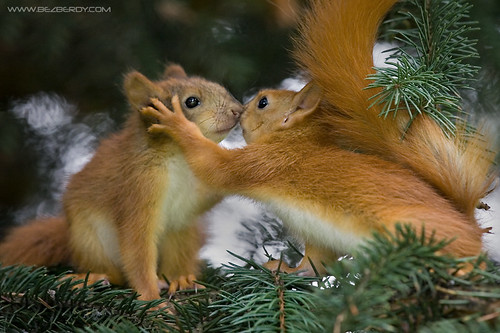 Kissing Squirrels