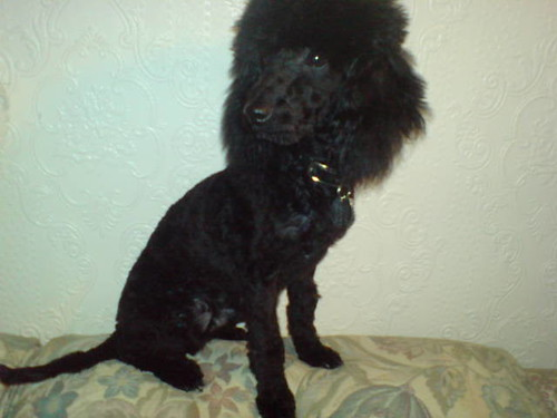 Toy Black Poodle Haircuts Pepe toy poodle haircut